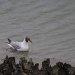 zeehonden en zeevogels Breskens-003