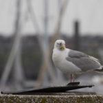 zeehonden en zeevogels Breskens-005