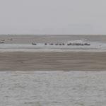 zeehonden en zeevogels Breskens-007