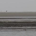 zeehonden en zeevogels Breskens-009