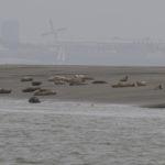 zeehonden en zeevogels Breskens-010