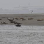 zeehonden en zeevogels Breskens-011