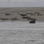 zeehonden en zeevogels Breskens-012
