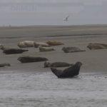 zeehonden en zeevogels Breskens-013