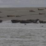 zeehonden en zeevogels Breskens-014