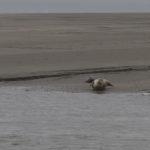 zeehonden en zeevogels Breskens-015