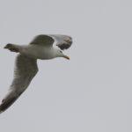 zeehonden en zeevogels Breskens-016
