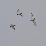 zeehonden en zeevogels Breskens-025