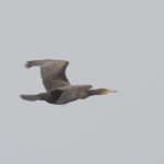 zeehonden en zeevogels Breskens-027