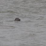 zeehonden en zeevogels Breskens-029