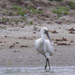zeehonden en zeevogels Breskens-030