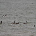 zeehonden en zeevogels Breskens-033