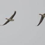 zeehonden en zeevogels Breskens-034