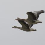 zeehonden en zeevogels Breskens-035