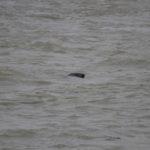 zeehonden en zeevogels Breskens-038