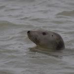 zeehonden en zeevogels Breskens-039