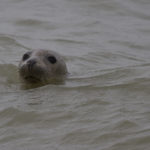 zeehonden en zeevogels Breskens-040