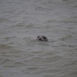zeehonden en zeevogels Breskens-041