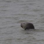 zeehonden en zeevogels Breskens-042