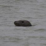 zeehonden en zeevogels Breskens-043